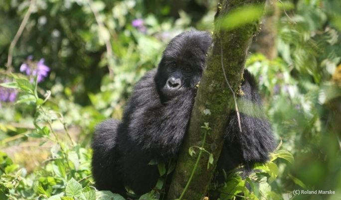 Gorilla Trekking Tour - 6 Tage